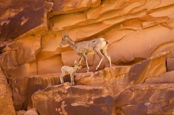 grand-canyon-upper-sheep-kid